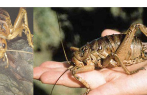 giant weta in hand