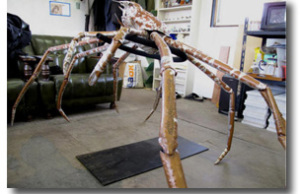 mounted japanese spider crab