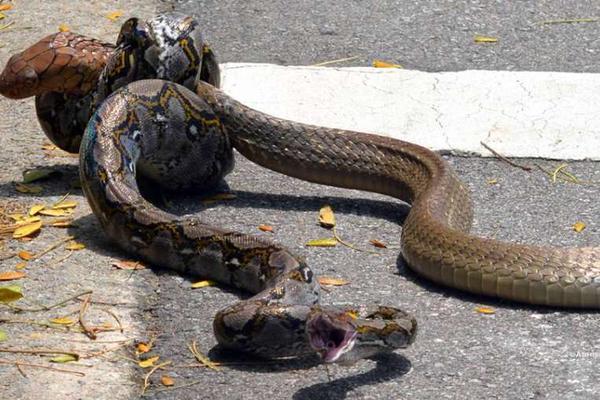 snakefight1