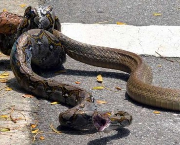 What Happens When A Python Fights A King Cobra