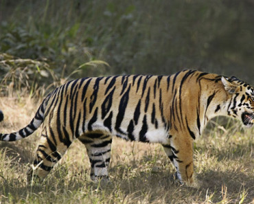 tiger population increased